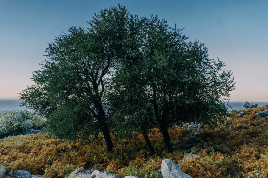 Large tree on a mountain at Samothraki, Greece, shot by Ilias Antoniou.